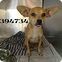 Adopt A Pet :: CASSIN - San Antonio, TX