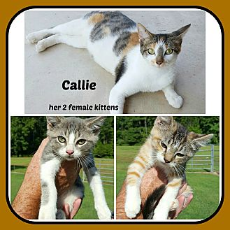 Calico Cat for adoption in Malvern, Arkansas - CALLIE- 2 FEM KITTEN