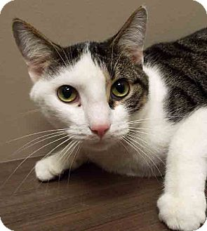 Domestic Shorthair Cat for adoption in Channahon, Illinois - Dexter