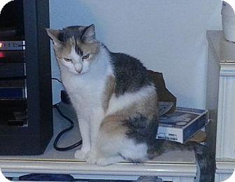 Calico Cat for adoption in Austin, Texas - Kiki IV