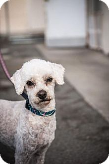 Poodle (Miniature) Mix Dog for adoption in Oceanside, California - Maxdon