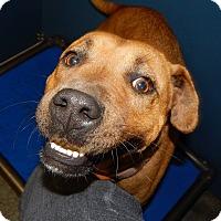 Adopt A Pet :: Brownie (HW Pos)* - Henderson, NC