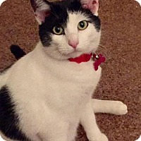 Adopt A Pet :: Elsie Mae - Cat - Rootstown, OH