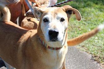 Labrador Retriever/Rhodesian Ridgeback Mix Dog for adoption in Davie, Florida - Spice