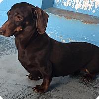 Adopt A Pet :: Darcy - Joplin, MO
