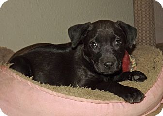 Labrador Retriever/Shar Pei Mix Puppy for adoption in Phoenix, Arizona - Gemma