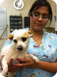 Chihuahua Mix Dog for adoption in Tucson, Arizona - Chikito