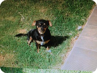Chihuahua Mix Dog for adoption in San Diego, California - Cosky