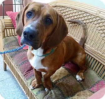 Basset Hound Mix Dog for adoption in Medford, New Jersey - Barney