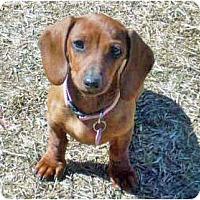 Adopt A Pet :: Miss Lilly - San Jose, CA