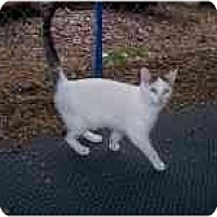 Adopt A Pet :: Jada kitten - Cincinnati, OH