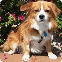 Adopt A Pet :: Wyatte - Gilbert, AZ