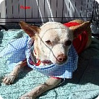 Chihuahua Mix Dog for adoption in Las Vegas, Nevada - Pope
