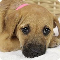Adopt A Pet :: Pilar - Waldorf, MD