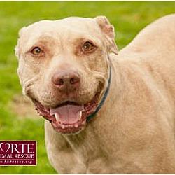 Photo 1 - American Staffordshire Terrier Mix Dog for adoption in Marina del Rey, California - Dior