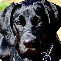 Adopt A Pet :: MAGGIE(TRAINED--GORGEOUS PUPPY - Wakefield, RI