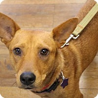Adopt A Pet :: Ginger - Littleton, CO