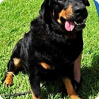 Rottweiler Dog for adoption in Houston, Texas - Memphis