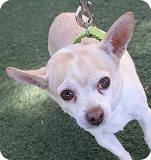 Chihuahua Dog for adoption in Las Vegas, Nevada - *SAMMY