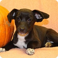 Adopt A Pet :: Barbie - Modesto, CA