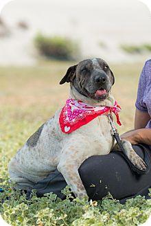 Shar Pei/Greyhound Mix Dog for adoption in Pasadena, California - Sophie