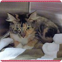 Domestic Mediumhair Cat for adoption in Marietta, Georgia - PRINCESS