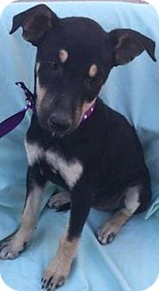 Australian Kelpie/Collie Mix Puppy for adoption in cupertino, California - Onyx