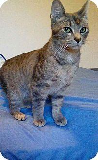 American Shorthair Cat for adoption in McArthur, Ohio - calvin