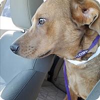 Golden Retriever/Labrador Retriever Mix Dog for adoption in Cave Creek, Arizona - Shea