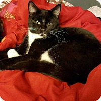 Domestic Shorthair Kitten for adoption in South Bend, Indiana - Carroll