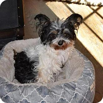 Chinese Crested Dog for adoption in Arlington, Virginia - Andy