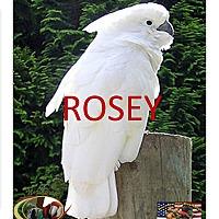 Adopt A Pet :: ROSEY The Umbrella Cockatoo - Vancouver, WA