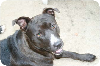 Pit Bull Terrier/Labrador Retriever Mix Dog for adoption in Winder, Georgia - *Rocket