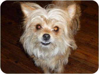 chinese crested terrier pet not found 6641