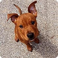 Adopt A Pet :: Gigi - Muskegon, MI
