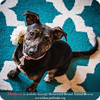 Adopt A Pet :: Madison - Bedford, TX