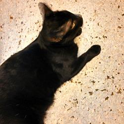 Photo 2 - Domestic Shorthair Cat for adoption in Scottsdale, Arizona - Miss Bliss-edob 4/24/12
