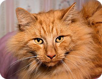 Domestic Longhair Cat for adoption in Tucson, Arizona - Mr. Mimi