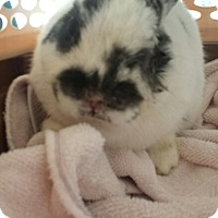 Adopt A Pet :: Captain of the Bunny Brigade - Los Angeles, CA