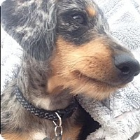 Adopt A Pet :: DIETER - Portland, OR