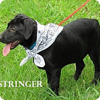 Adopt A Pet :: Stringer meet me 6/10 - Manchester, CT