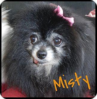 Pomeranian Dog for adoption in Orange, California - Misty