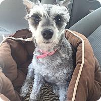Adopt A Pet :: Cosette - Atlanta, GA