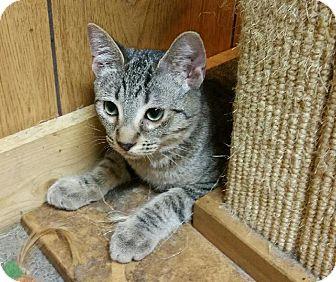 Domestic Shorthair Kitten for adoption in Morganton, North Carolina - Legolas