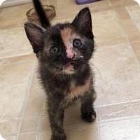 Calico Kitten for adoption in Smyrna, Georgia - Vesper