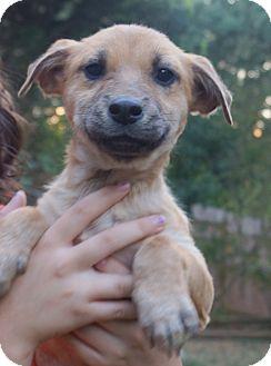 German Shepherd Dog/Terrier (Unknown Type, Medium) Mix Puppy for adoption in Bayshore, New York - Monty