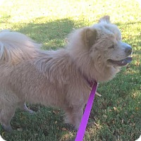 Chow Chow Dog for adoption in Mansfield, Texas - Frankie