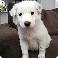 Adopt A Pet :: Romeo - Denver, CO