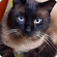 Siamese Cat for adoption in Alameda, California - Root Beer