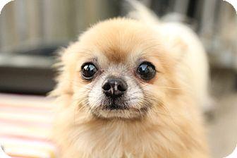 Pomeranian/Chihuahua Mix Dog for adoption in Romeoville, Illinois - Shorty